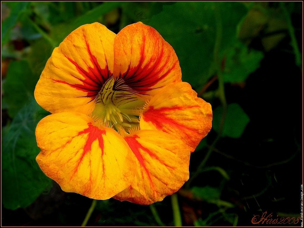Capucine fleur, ce qui la caractérise en tant que végétal