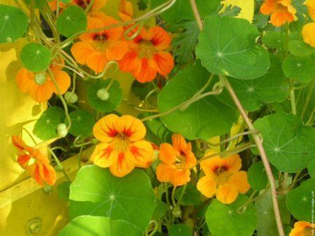 imagesCapucine-fleur-13.jpg
